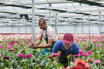 Male Florists Examining Pink Gerberas At Greenhouse
