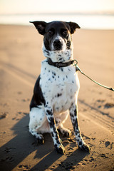 Black and White Dog Sitting on Beach