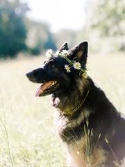 German Shepherd and Flower Crown