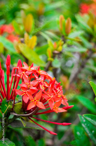 las flores rojas en el jardín de la casa de la abuela \