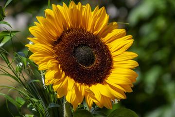 Printed roller blinds Sunflower Sonnenblume (Helianthus annuus)