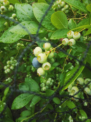 Blueberry plant featuring its first ripened berry.