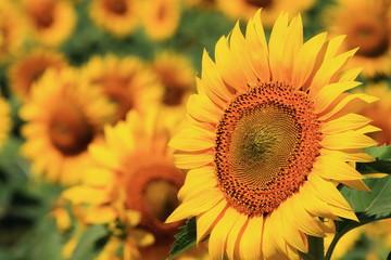 sunflower / 北竜町のひまわり