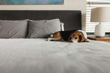 Grumpy dog laying on human bed