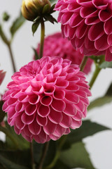 Vibrant Pink Dahlia Flowers Freshly Picked From A Summer Garden