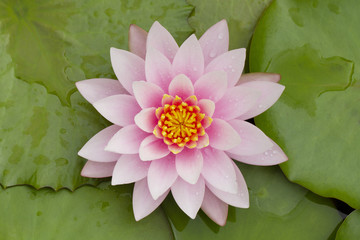 Close up image of pink waterlily with green leaves background