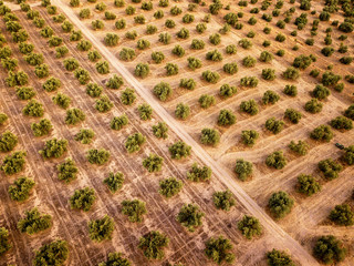 Aerial view of olive trees, Andalusia