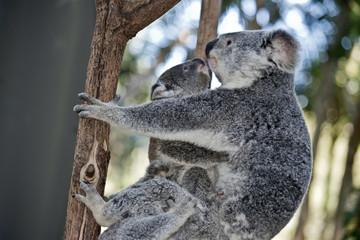 mother koala and two joeys