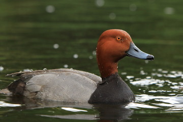 Redhead duck profile