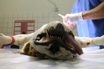 English buldog in anesthesia on operating table