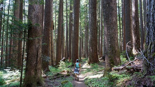 Redwoods in Olympic National Park, Washington