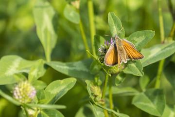 Orange butterfly on flower clover.