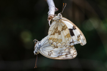 Mariposas medioluto herrumbrosa, copulando. Melanargia occitanica.