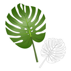 Philodendron Monstera Leaf isolated on White Background.