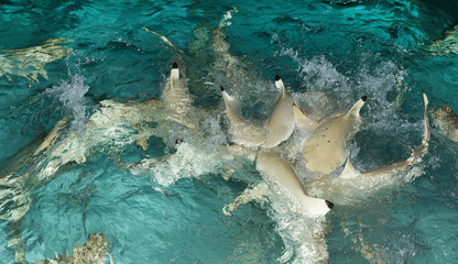 reef shark, shark swimming on the shore