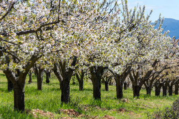 Cherry blossoms, Caderechas valley, Spain