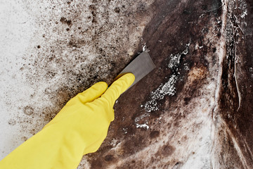 Disinfection of the fungus. A hand in a yellow glove removes the black mold from the wall in the apartment with a spatula..