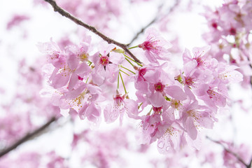 The blooming cherry blossom under sunshine