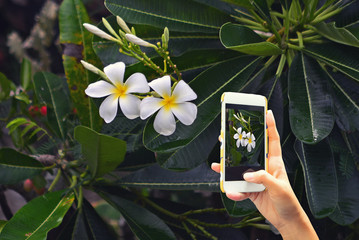 hand take photo with  frangipani flowers