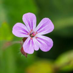 Pink Herb Robert