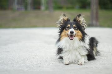cute tricolor shetland sheepdog