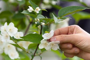 hand with jasmine flowers in the garden