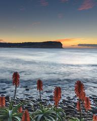Sunrise Seascape and Aloe Vera in Flower