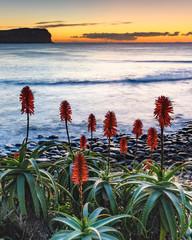 Aloe Vera in Flower at the Seaside