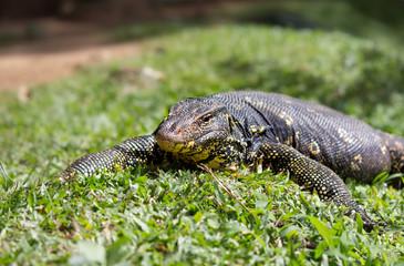 lizard on the grass