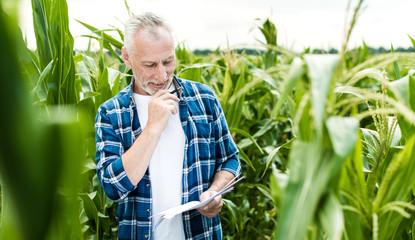 Farmer inspecting corn field summer sunny day