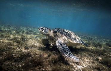 Green sea turtle (Chelonia mydas) resting in sea grass at Apo island, Philippines