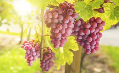 Weintrauben im Sonnenlicht