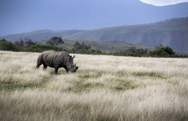 Black rhinoceros (Diceros bicornis) with horns taken off for protection from poaching