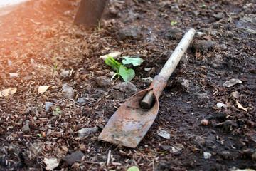 old rusty spade on dirty ground with green plant in garden evening time with orange sun ray flare