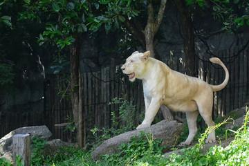 White lion standing on rocks.
