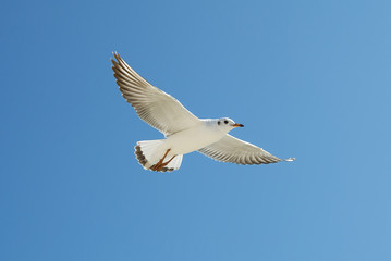 Seagull fly. Bird flying in the blue sky