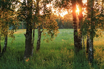 Birch trees. Meadow with high grass in summer.