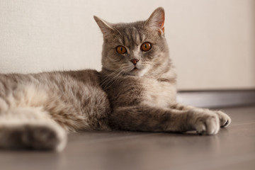 Portrait of Cute Cat Scottish Straight with home. Lying cat