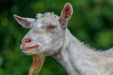 portrait of a goat on the field close-up