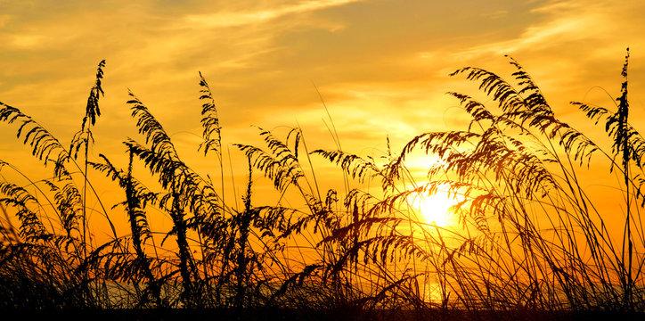 Golden Oats / Sea Oats at sunrise on St Augustine Beach, Florida