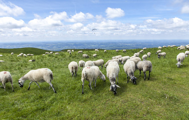 herd of sheep grazing on the top of the hill