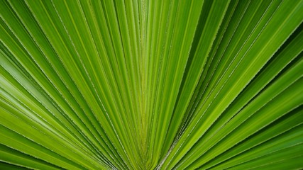 Wall Mural - palm leaf background wallpaper sugar pattern detail line plant green