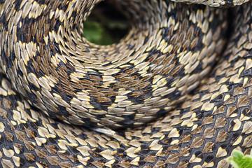 beautiful pattern of meadow viper