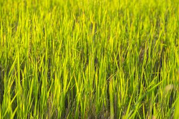 Green fields,Rice field in Thailand