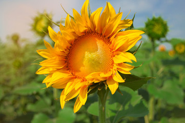 flower of a sunflower in the field on a sunny day