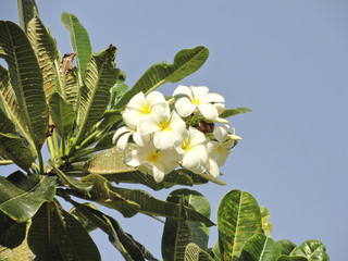 White frangipani flowers against the cloudless blue sky