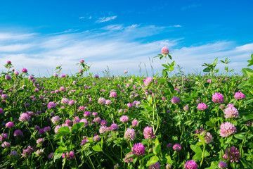 Pink clover meadow and blue sky.  Trifolium pratense flowers in field.