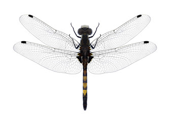 Dragonfly Leucorrhinia pectoralis on a white background