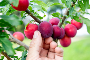 red ripe plums on the tree. healthy food and vitamins