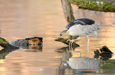 Black Crowned Night Heron holding a purple berry in its beak.